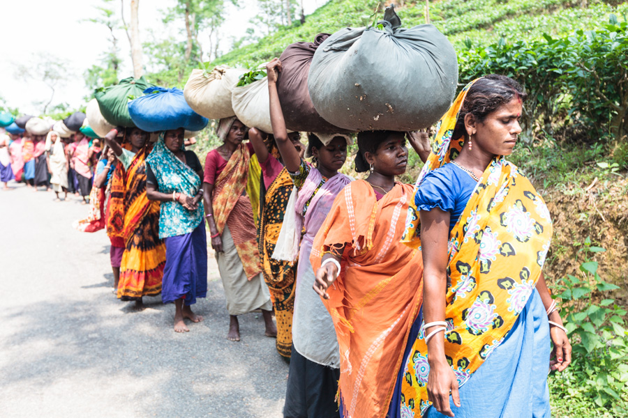 Pluckers (tea workers) take the tea leaves to be inspected and weighed to make sure only the highest quality, undamaged tea leaves are chosen to be processed, Tea estates near Sreemangal (Srimangal), Division of Sylhet, Bangladesh, Indian Sub-Continent,