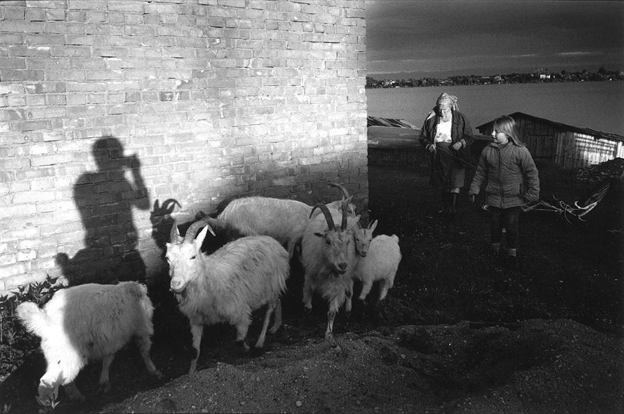 ustie_goats