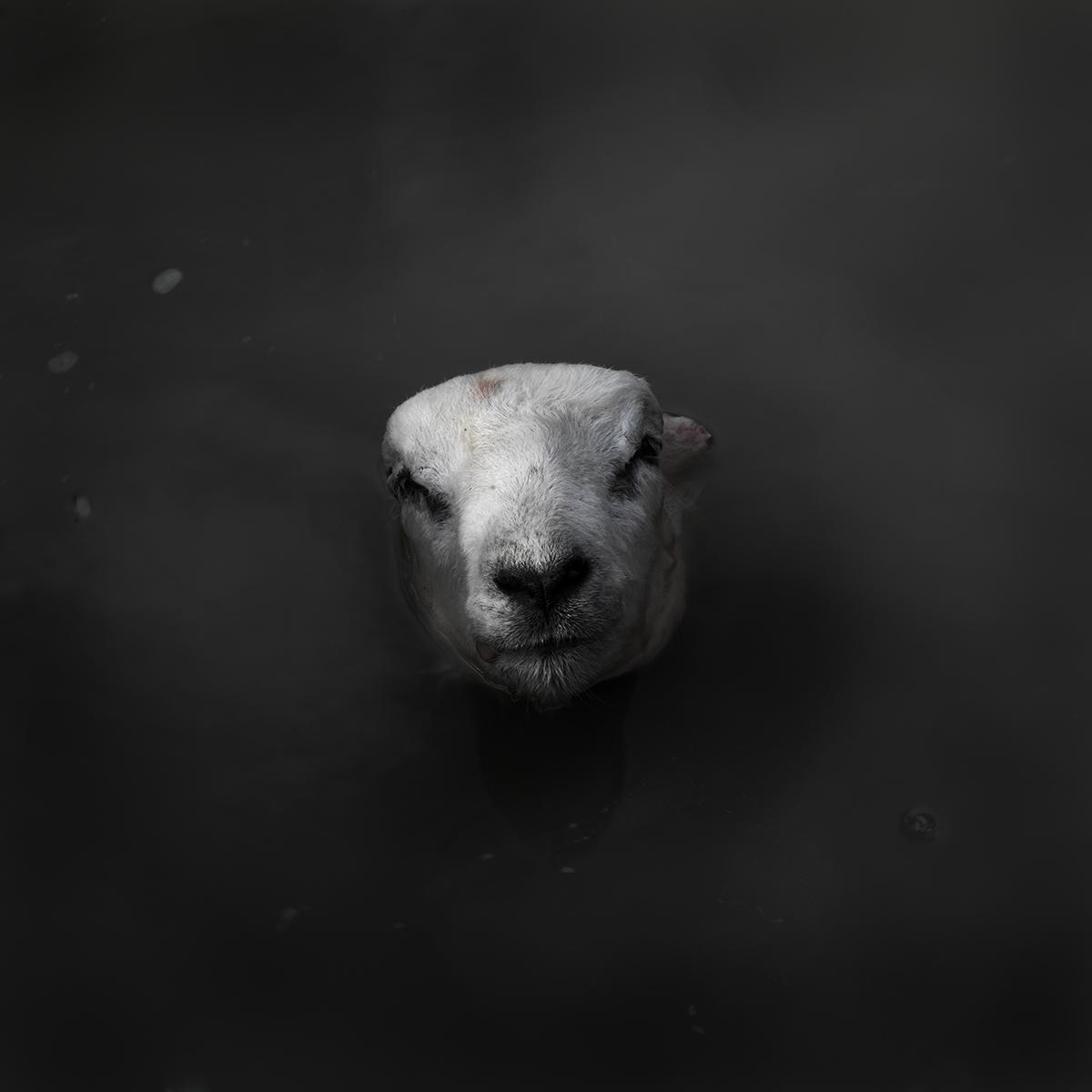 Sheep no 1
