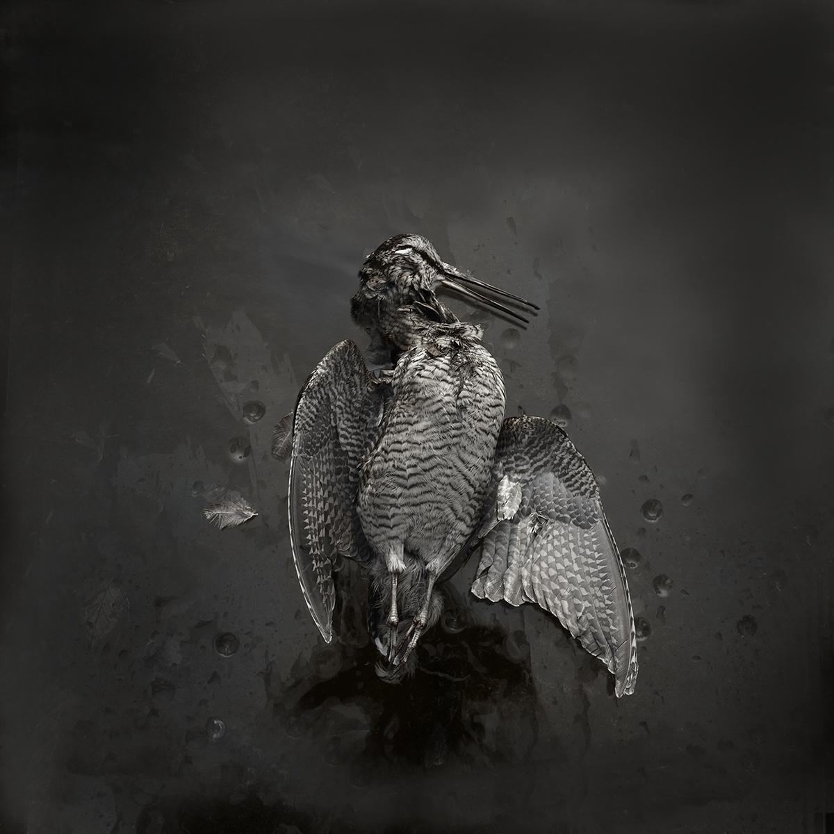 Woodcock no 8