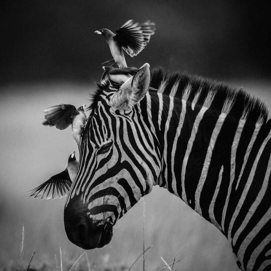 Laurent Baheux - Complicity, zebra and birds, Kenya 2014 - 900 x 900 - 72 dpi
