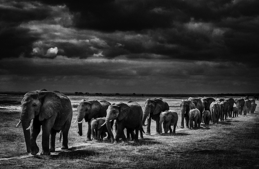exodus of elephants, Kenya 2013 - 900 x 600 - 72 dpi