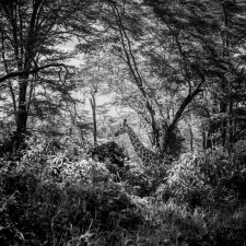 Laurent Baheux - Giraffe in the bush, Kenya 2013 - 900 x 600 - 72 dpi