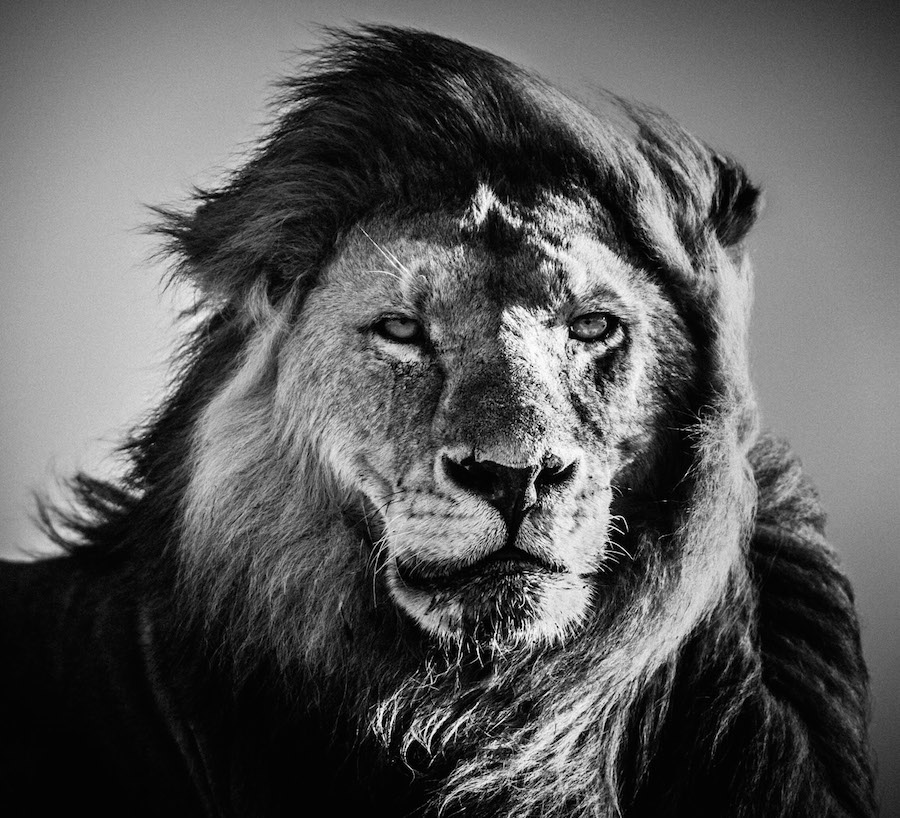 Laurent Baheux - Lion portrait, Kenya 2006 - 900 x 800 - 72 dpi