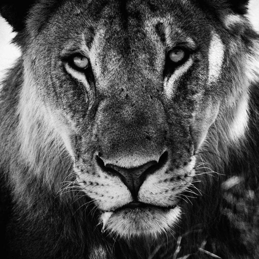 Laurent Baheux - Lioness portrait, Namibia 2004 - 900 x 900 - 72 dpi