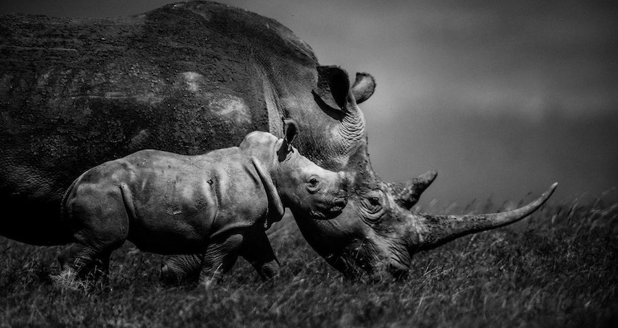 Laurent Baheux - Magic horn, Kenya 2013 - 900 × 500 - 72 dpi