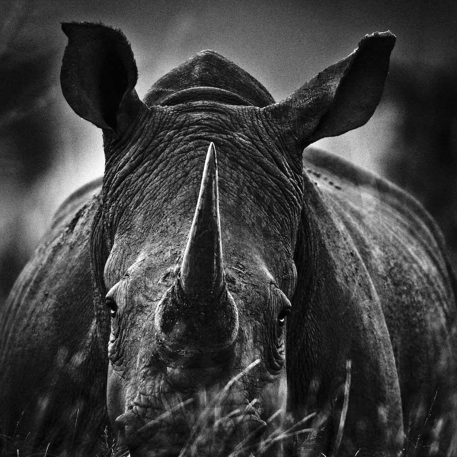 Rhino portrait, South Africa 2004 - 900 x 900 - 72 dpi