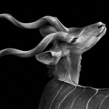 kudu_head_up photography of animals / Wolf Ademeit