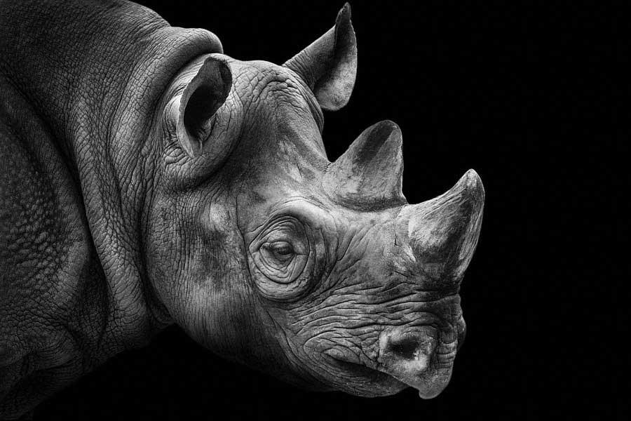 Rhino Portrait Photography Of Animals Wolf Ademeit