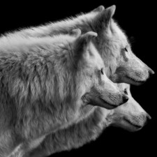 three_wolves