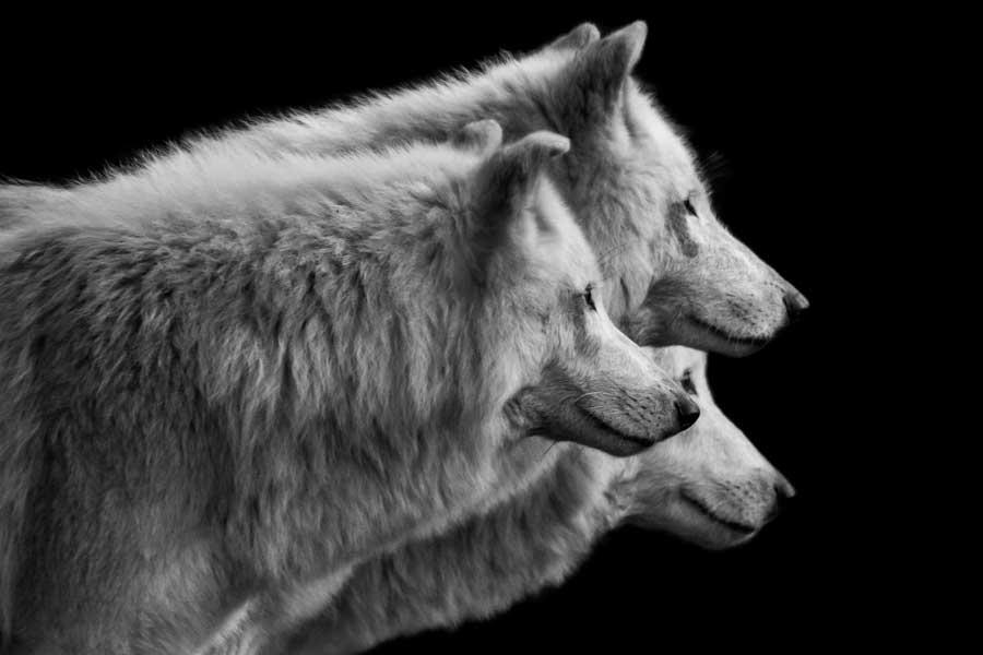 three_wolves