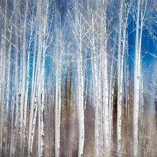 Birches_in_Spring