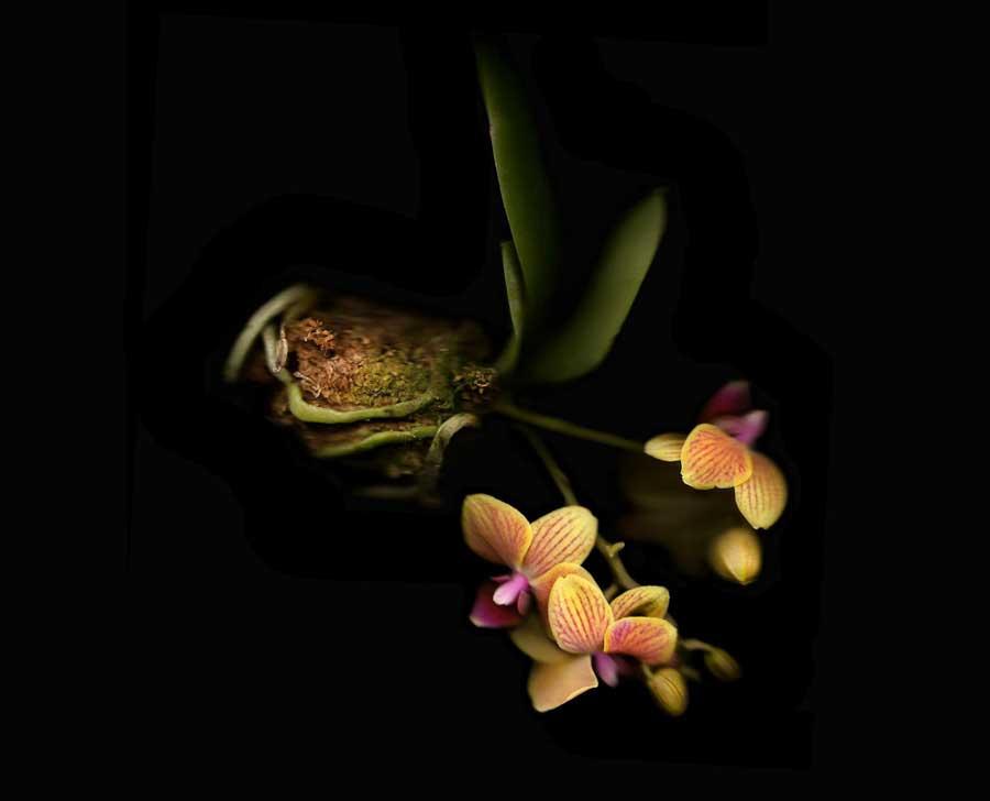 Falling Orchid-Anne Hoerter