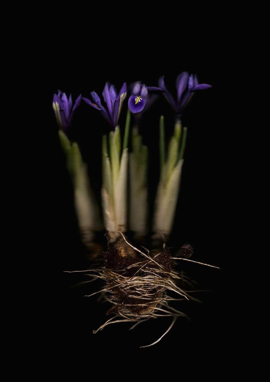 Iris 2-Anne Hoerter