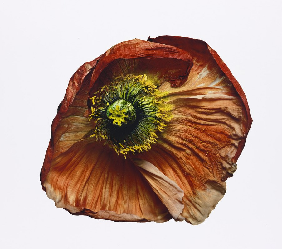 Iceland Poppy (B), New York, 2006 18 5/8 x 21 in. (47.3 x 53.3 cm.) Edition of 9 © The Irving Penn Foundation