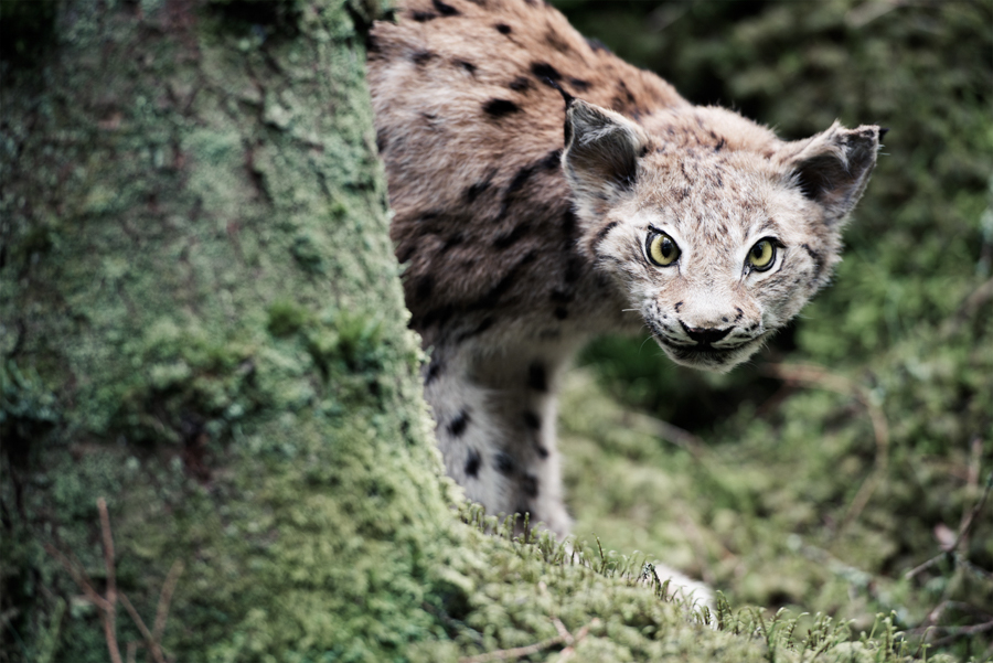 13_Lynx