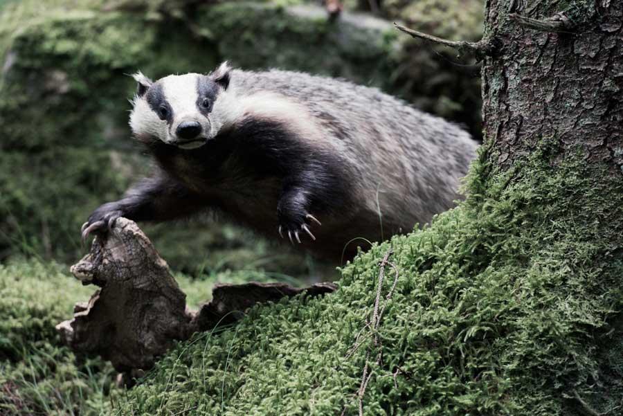 14_Badger
