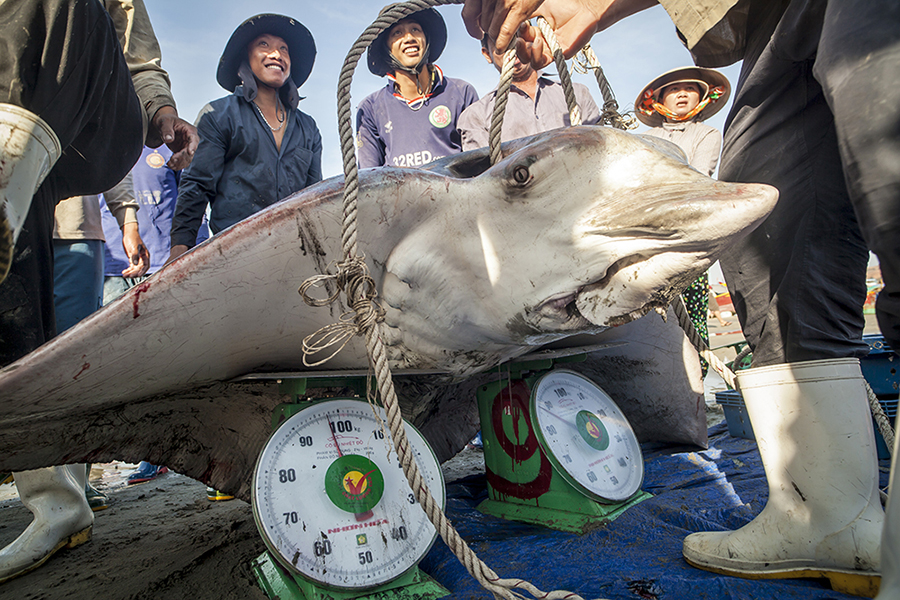 With a triumphant smile and after the effort of weighing their capture -a Banded Eagle Ray (Aetomylaeus nichofii)- a couple of Vietnamese fishermen find out that it weighs 190 Kg; a small fortune for a fishing day. The money earned with their capture will not be employed to satisfy their basic needs; but only to trigger the desire for more captures at the same spot where they captured this huge Ray and therefore increase their wealth as much as possible.; With their new purchasing power they will buy more fishing gear; make the first payment installment for a new motorcycle and also afford some home repairs; as; a matter of fact; the greater the number or size of captures; the greater will be the greed for more.The Banded Eagle Ray is a species which has been so overfished that; it is on the verge of extinction; specially on the South East Asian waters; where this one has been fished. Due to very heavy trawling since the 1960's and the low rate of fecundity; the once very abundant species on the Gulf of Thailand and in Indonesia; associated to coral reef waters is now extremely rare.The Banded Eagle Ray presents one of the highest brain to body brain ratios in the oceanic waters; which makes it one of the most intelligent fish of the oceans. They are extremely sociable; their eyes express intelligence; they can get very curious and interact with divers and can live for more than 40 years; feeding mainly on bottom-living molluscs and crustaceans. Their presence is easy to detect by the fishing boats when they placidly roam the surface of the water creating; undulations and adding up to the fact that due to their large size -which can reach 2.50 meters-they do not expect oceanic predators larger than themselves.
