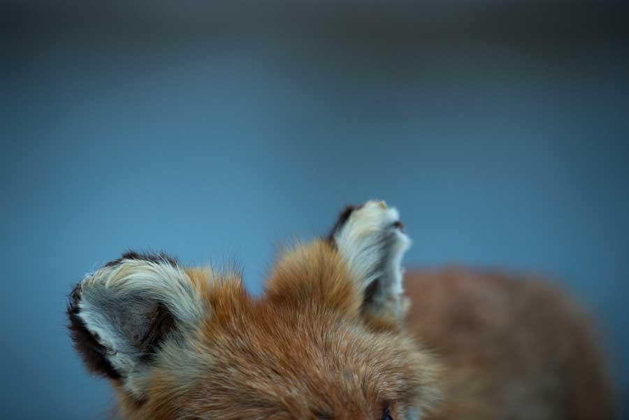 2_Mr_fox