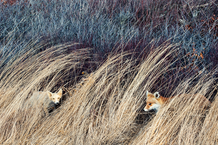 3_Two_foxes_and_bird