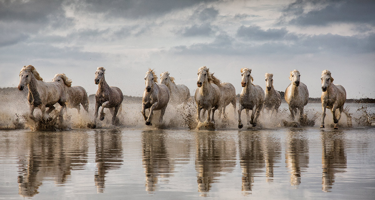 White Camargue horses running through the water | Dodho ...