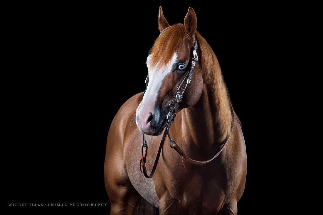 Tierfotograf; Tierfotografie; animal; photography, Pferd; Pferdefotograf; Pferdefotografie; Quarter Horse, Horse; Horsephotography; Equine; Equinephotography; Equus;