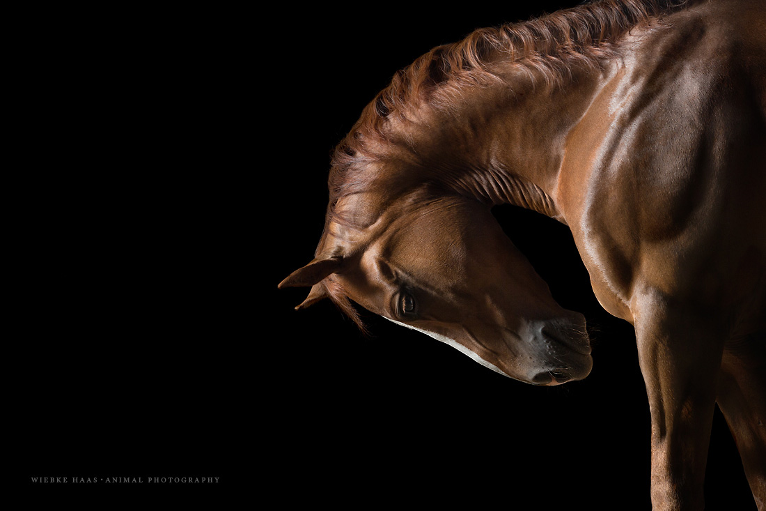 Pferd-Studio-Quarter-Horse-Pferdefotografie