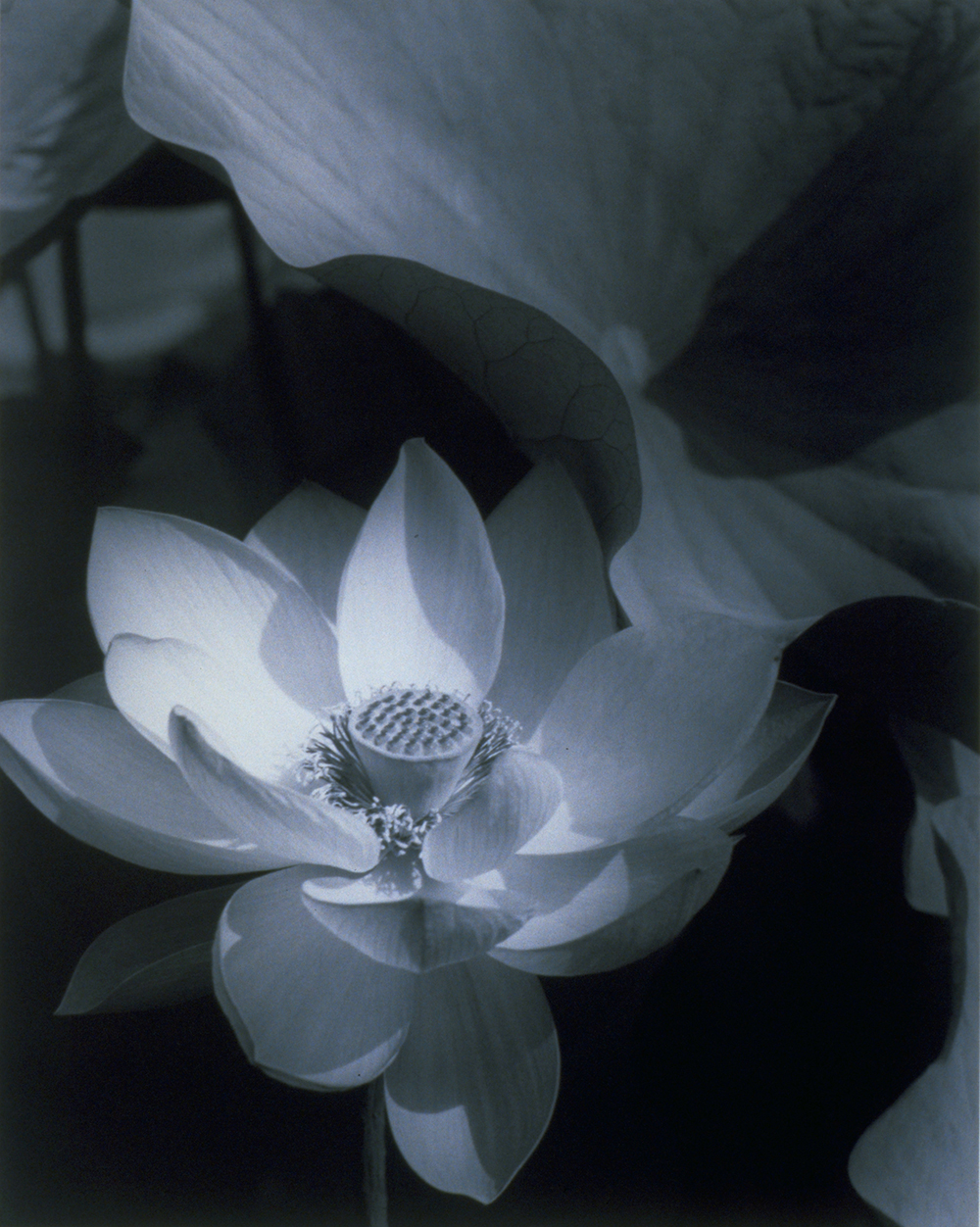 Edward Steichen. Lotus, Mount Kisco, New York, 1915; printed 1982, silver gelatin print, 13 1/4 x 10 1/2 inches (image & paper), Gift of Diane Singer in honor of the 8-31- 97 marriage of Diane Singer to Eric Pearlman.