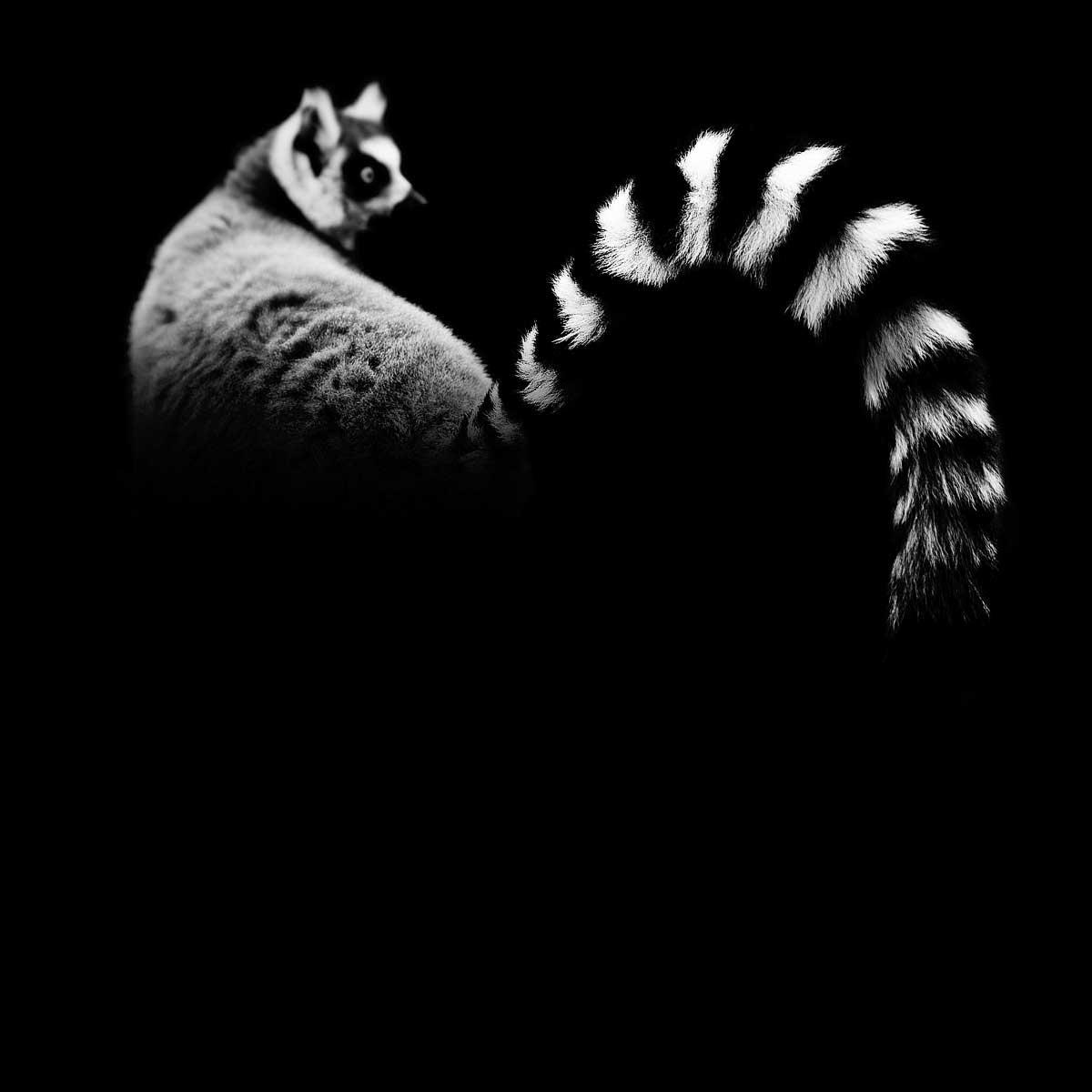 09-Lemur-Catta