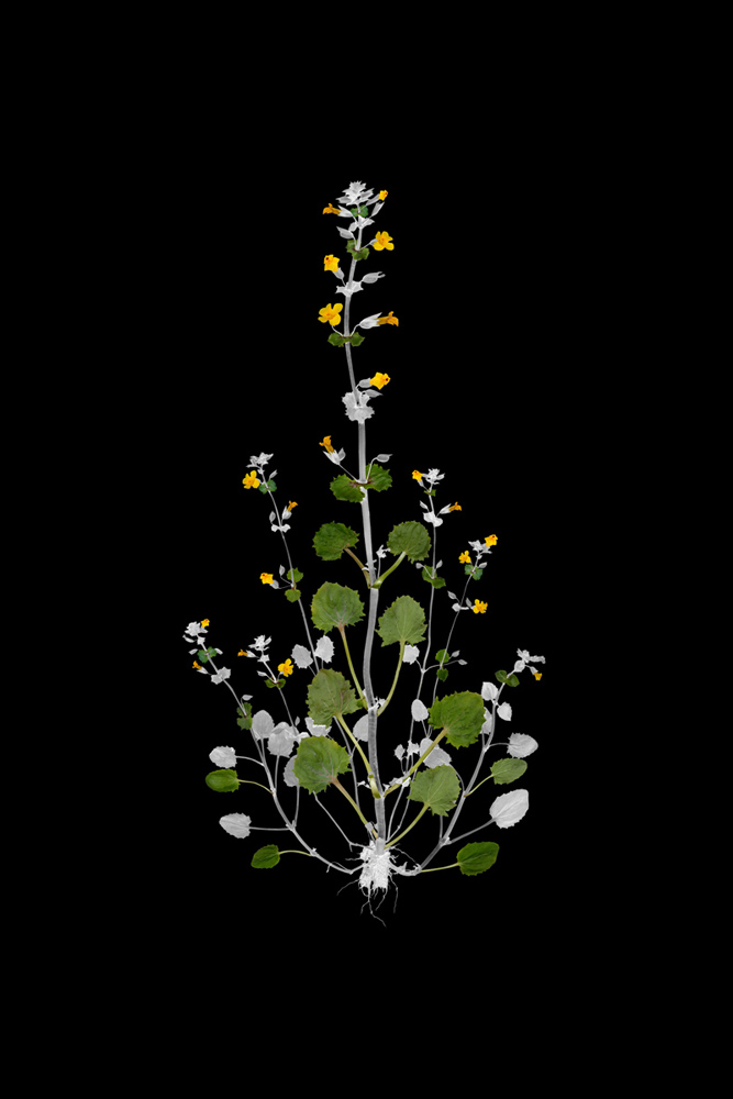 J.W. Fike's Photographic Survey of the Wild Edible Botanicals of the North American Continent