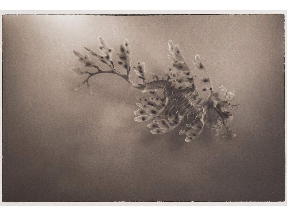LLP_Leafy-Sea-dragon-Figure-1