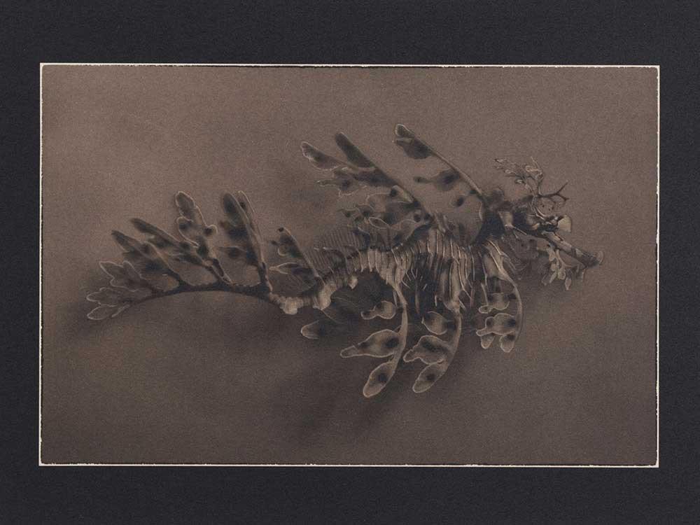 LLP_Leafy-Sea-dragon-Figure-2