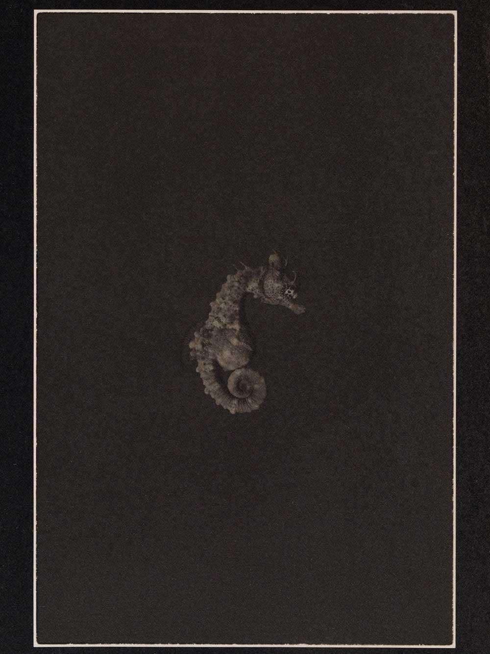 LLP_Shorthead-Seahorse-Figure-1.1