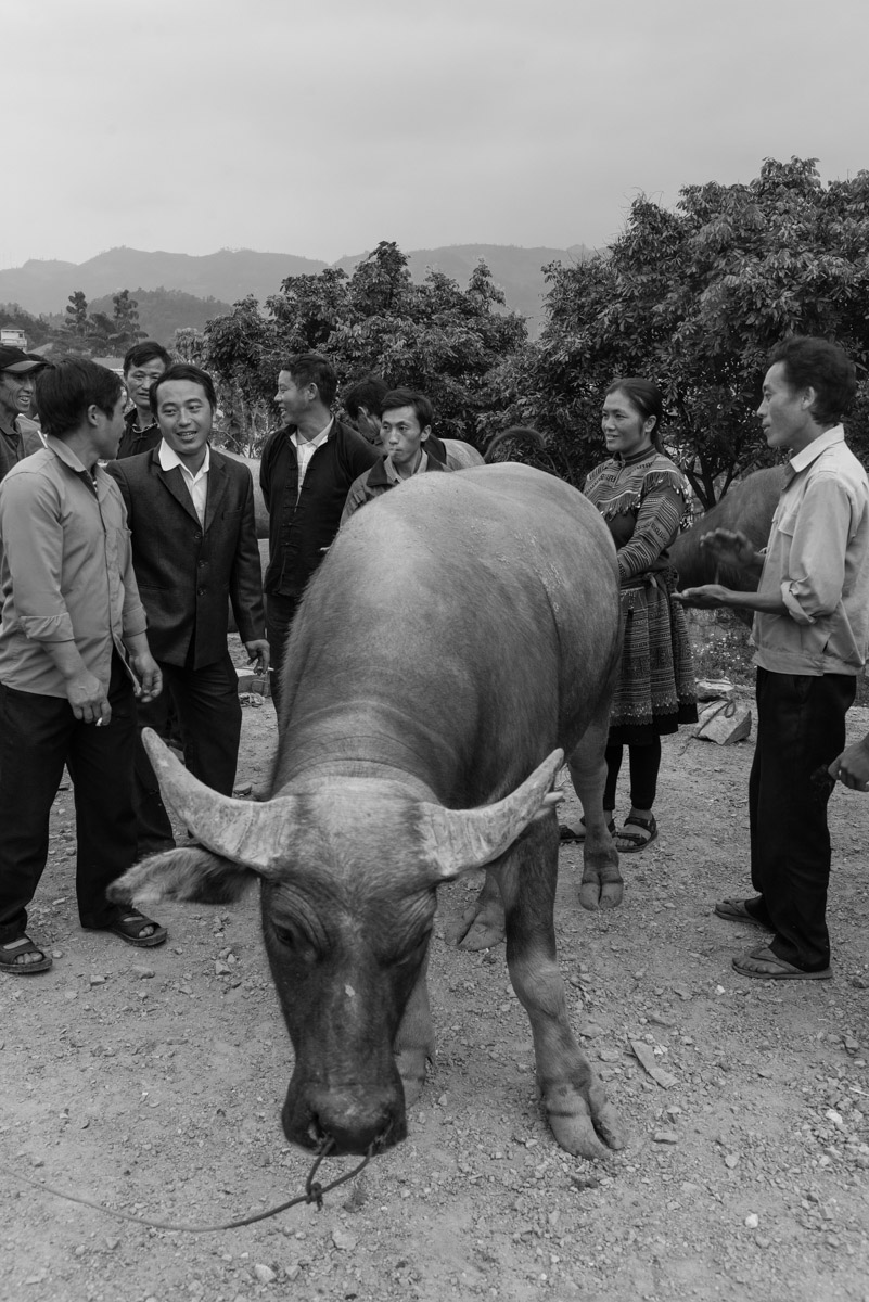 A group of people is negotiating the price for a water buffalo on a local market. Buffaloes can serve as farm animals as well as an investment, with prices ranging up to $2000.