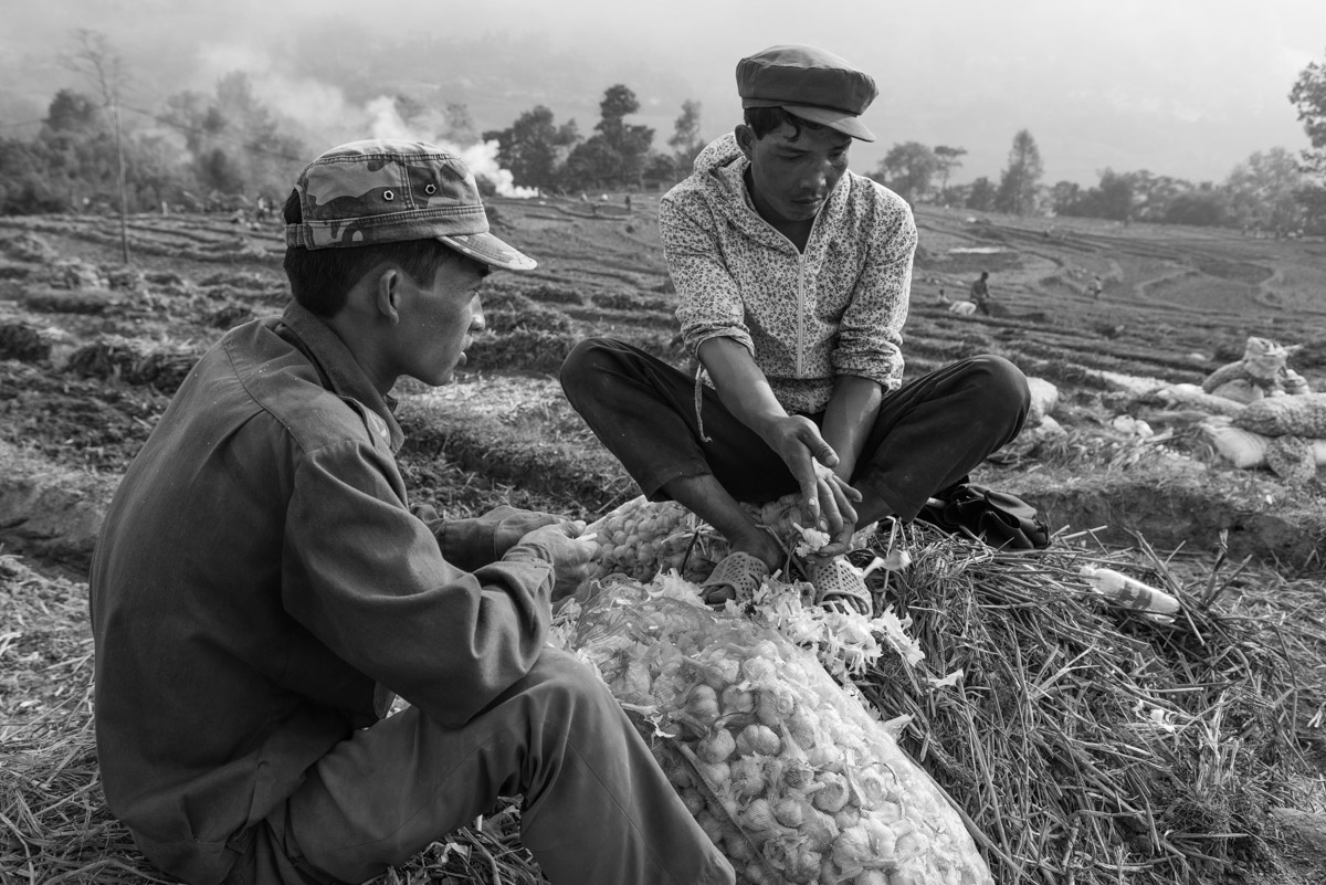 Two men are peeling garlic to plant the seed as next year's crop.