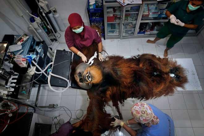 Saving Orangutans by Alain Schroeder